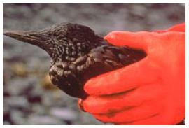 Figure 1 Oiled crow in the aftermath of the Exxon Valdez oil spill