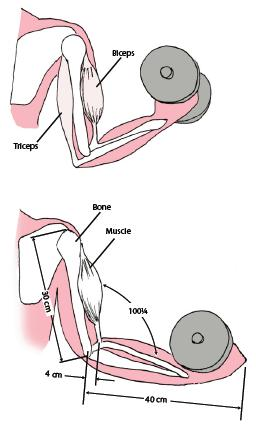 A human elbow acts as a third class lever during the lifting of a weight