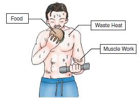 Figure 4 Human body is a heat engine, taking input energy in the form of food, converting a part of it into muscle work, and rejecting the waste heat as sweat and other excrements.
